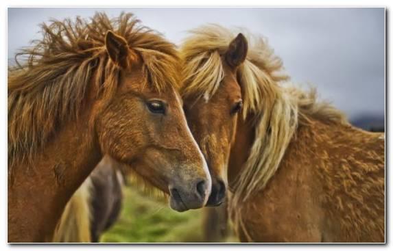 Image Arabian Horse Snout Wildlife Mane Mare