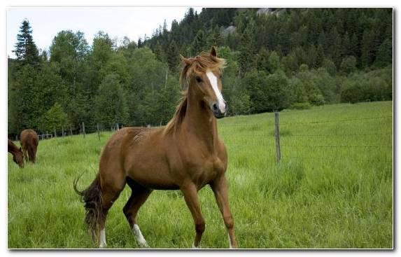 Image Arabian Horse Stallion Pony Grass Ecosystem