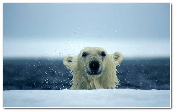 Image Arctic Bear Arctic Ocean Polar Ice Cap Terrestrial Animal