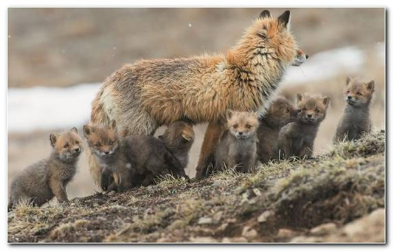 Image Arctic Wildlife Arctic Fox Terrestrial Animal Tundra