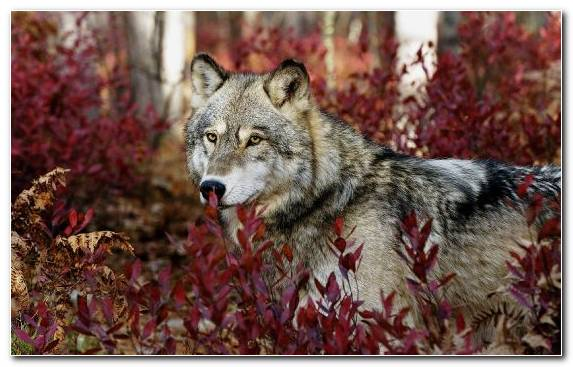 Image Arctic Wolf Snout Black Wolf Tree Factory