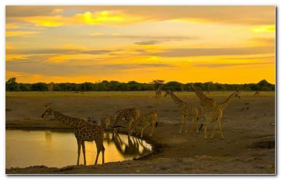 Image Art Plain Giraffe Giraffidae Desert