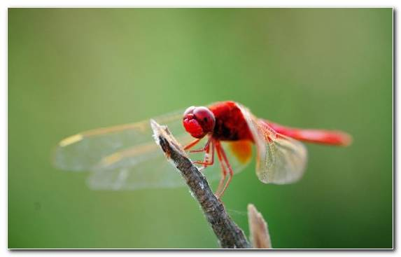 Image Arthropod Dragonflies And Damseflies Invertebrates Damselfly Insect