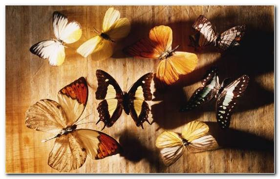 Image Arthropod Monarch Butterfly Invertebrate Pollinator Moths And Butterflies