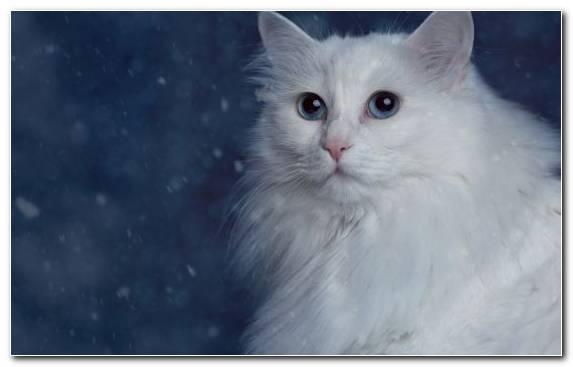 Image asian semi longhair turkish angora small to medium sized cats white kitten Copy