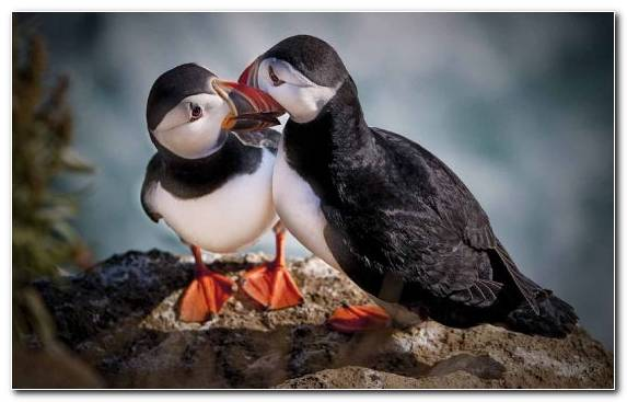 Image Atlantic Puffin Cat Dog Like Mammal Puffin Penguins