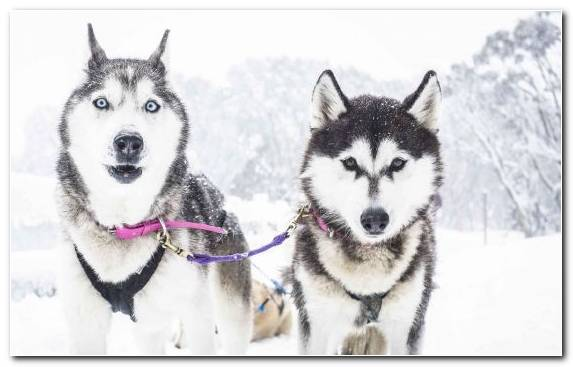 Image Australia Mushing Dog Like Mammal Canadian Eskimo Dog Sled Dog Racing