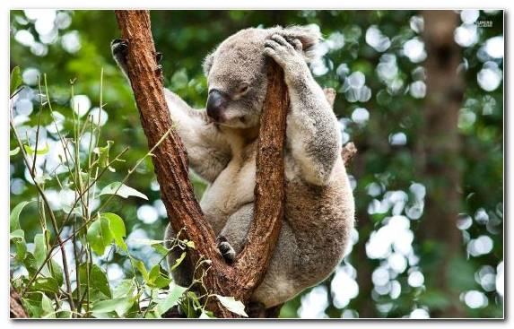Image Australia Snout Wildlife Tree Marsupial