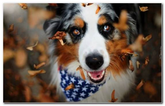 Image Australian Shepherd Bernese Mountain Dog Dog Breed Dog Like Mammal