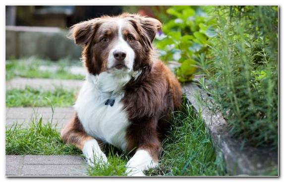 Image Australian Shepherd Dog Like Mammal Grass Animal Grasses