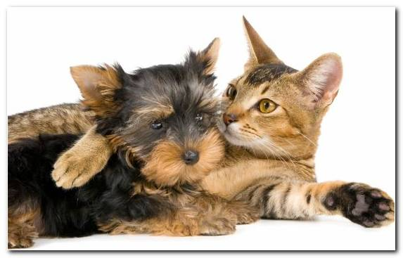 Image Australian Terrier Maine Coon Kitten Dog Like Mammal Dog Cat Relationship   Copy