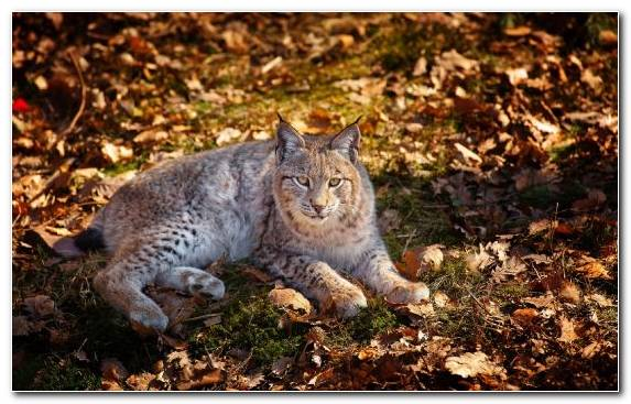 Image Autumn Mammal Wilderness Wildlife Pantherinae   Copy