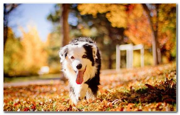 Image Autumn Puppy Australian Shepherd Cuteness Dog Breed   Copy