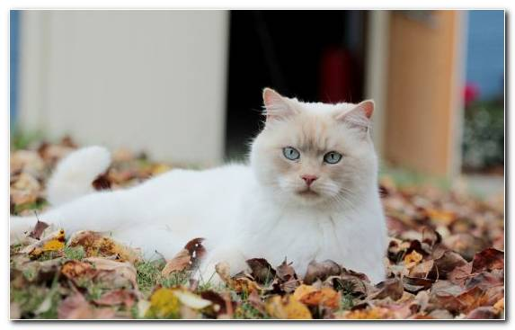 Image Autumn Small To Medium Sized Cats Kitten Ragdoll Persian   Copy