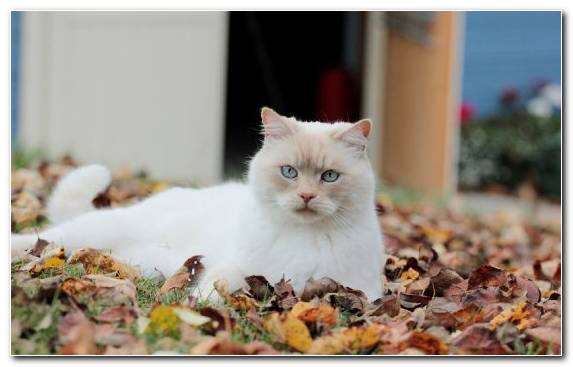 Image Autumn Snout Moustache Eye British Semi Longhair