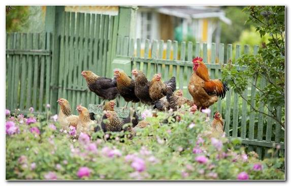 Image Backyard Livestock Grasses Chicken As Food Fowl