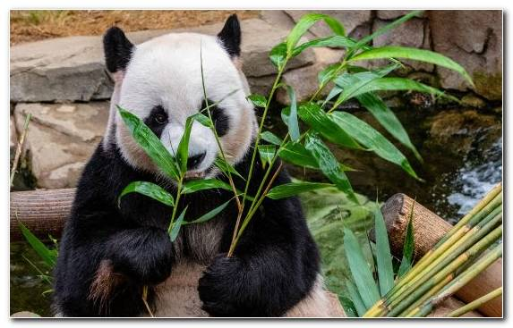 Image Bamboo Terrestrial Animal Bear Plant Factory