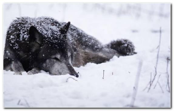 Image Bark Freezing Wolfdog Snow Animal