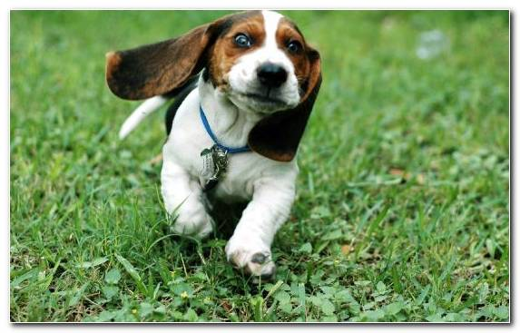 Image Basset Artesien Normand Pocket Beagle Beagle Funny Animal Puppy