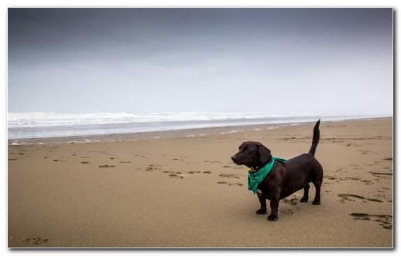 Image Beach Labrador Retriever Retriever Coast Dog Like Mammal