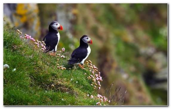 Image Beak Atlantic Puffin Charadriiformes Grasses Seabird