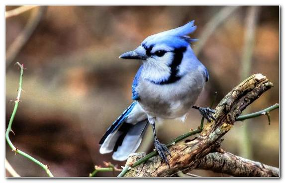 Image Beak Bird Perching Bird Songbird Blue Jay