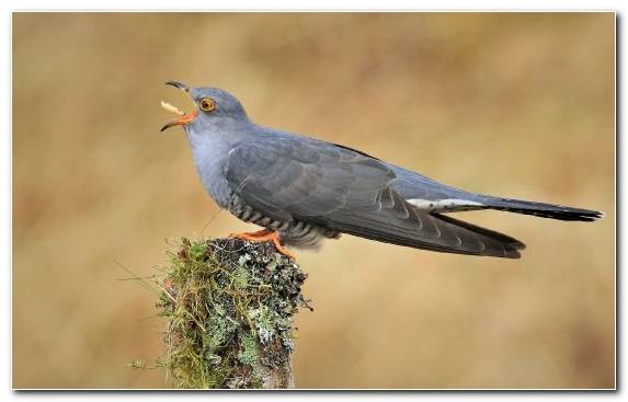 Image Beak Blackbird Stock Dove Bird Ecosystem