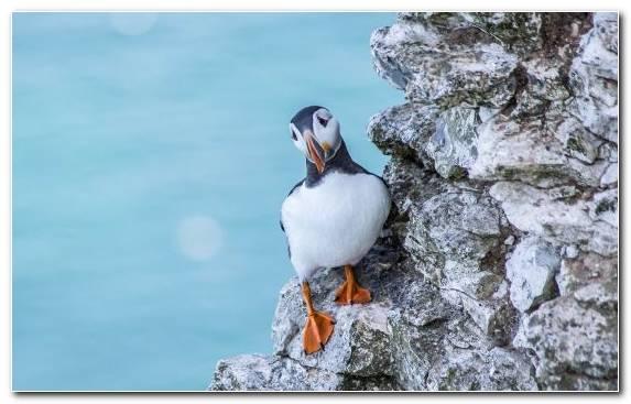 Image Beak Duck Seabird Atlantic Puffin Charadriiformes