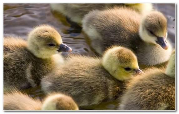 Image Beak Mallard Water Bird American Pekin Cuteness