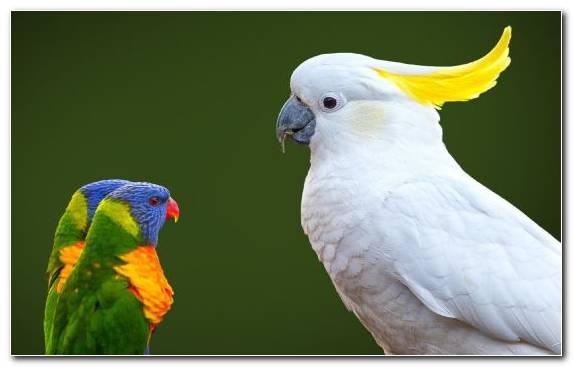 Image Beak Parrot Cockatoo Macaw Bird