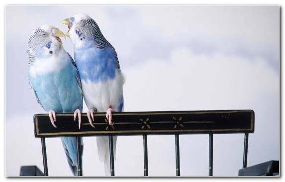 Image Beak Parrot Budgerigar Common Pet Parakeet Perico