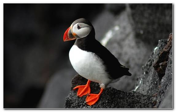 Image Beak Puffin Atlantic Puffin Charadriiformes Bird