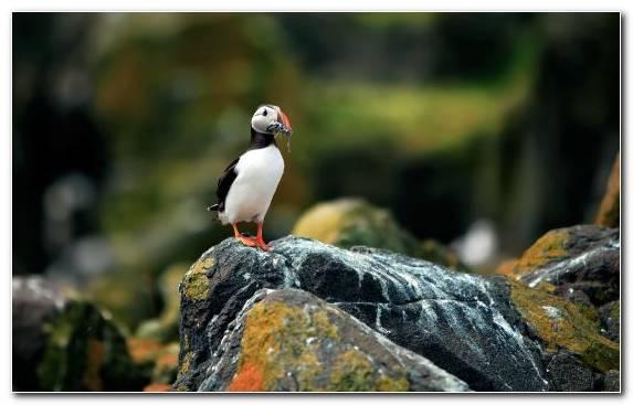 Image Beak Seabird Fauna Atlantic Puffin Charadriiformes