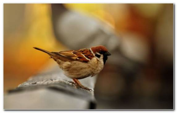 Image Beak Twig House Sparrow Emberizidae Bird
