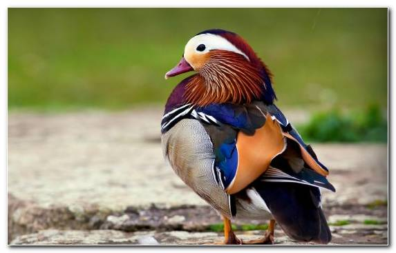 Image Beak Waterfowl Duck Mandarin Duck Bird
