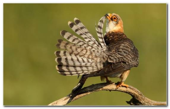Image Beak Wildlife Falcon Feather Passerine