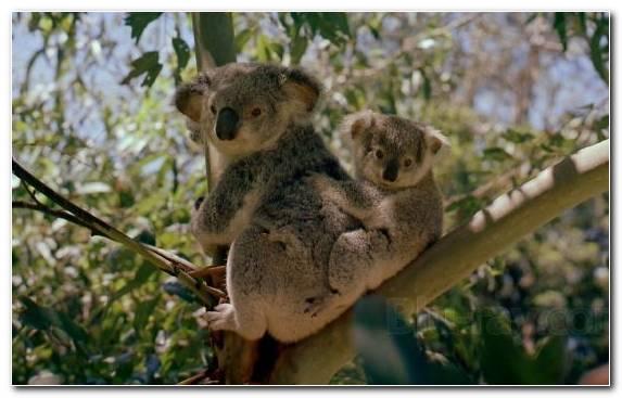 Image Bear Marsupial Snout Australia Wildlife