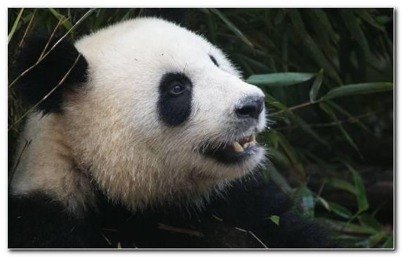 Image Bear Polar Bear Red Panda Fauna Snout