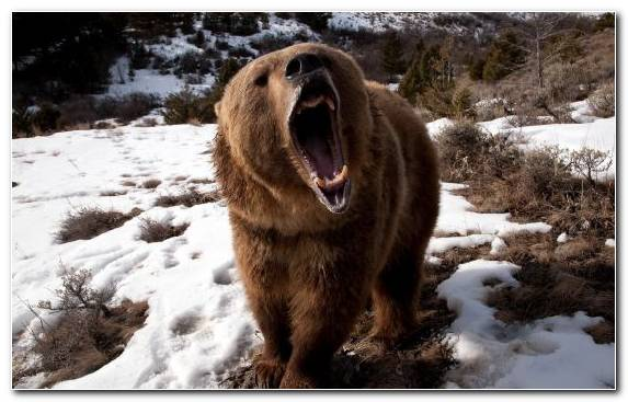 Image Bear Wildlife Brown Bear Snow Grizzly Bear