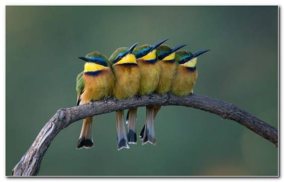 Image Bee Eater Wildlife Bird Common Chaffinch Beak