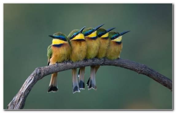 Image Bee Eater Wildlife Bird Common Chaffinch Beak