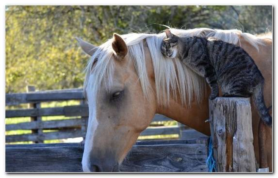 Image Belgian Horse Halter Rocky Mountain Horse White Mare