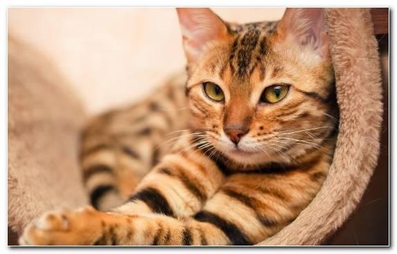 Image Bengal Felidae Cat Toyger Pet