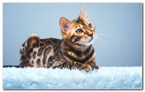 Image Bengal Leopard Cat Wildcat Moustache Cat
