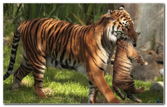 Image Bengal Tiger Desert Tiger Grasses Sketch