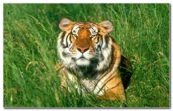 Image Bengal Tiger Grasses Desert Tiger Grass