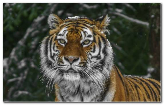 Image Bengal Tiger Grasses Snout Felidae Big Cat