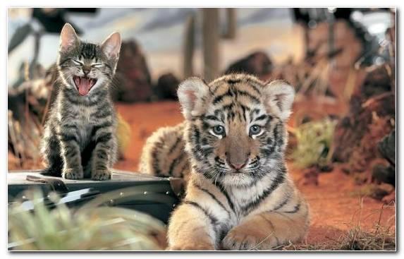 Image bengal tiger jaguar fauna felidae terrestrial animal
