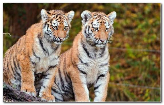 Image Bengal Tiger Mammal Tiger Cubs Siberian Tiger Wildlife