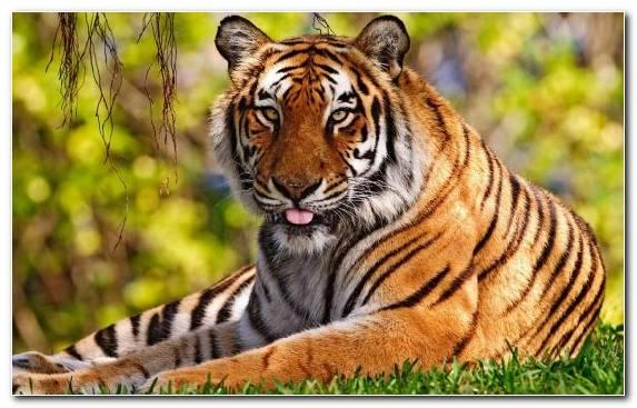 Image Bengal Tiger Terrestrial Animal Wildlife Fauna Mammal